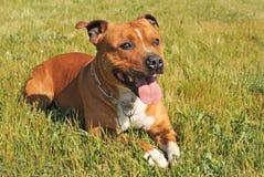 Terrier di toro dello Staffordshire Fotografia Stock Libera da Diritti