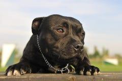 Terrier di toro dello Staffordshire Fotografie Stock Libere da Diritti