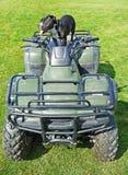 Terrier di toro dello Staffordshire in cima ad un ATV Immagini Stock