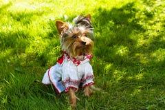 Terrier di York del filato Fotografie Stock