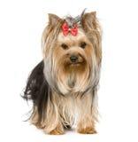 Terrier di Yorkshire (15 mesi) Fotografie Stock