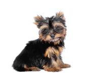 Terrier di Yorkshire Fotografie Stock Libere da Diritti
