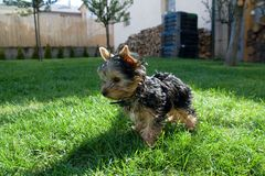Terrier di Yorkshire Immagine Stock