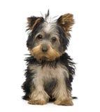 Terrier di Yorkshire (3 mesi) Immagini Stock Libere da Diritti