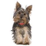 Terrier di Yorkshire (5 mesi) Fotografie Stock Libere da Diritti