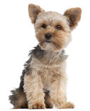 Terrier di Yorkshire, 7 mesi, sedentesi Fotografia Stock