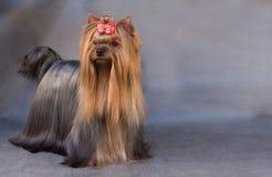 Terrier di Yorkshire Immagine Stock Libera da Diritti