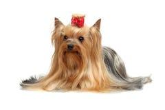 Terrier di Yorkshire adulto del cane Fotografia Stock