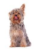 Terrier di Yorkshire che lecca il suo radiatore anteriore Immagini Stock Libere da Diritti