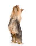 Terrier di Yorkshire che si leva in piedi sui piedini posteriori Isolato sulla parte posteriore di bianco Fotografia Stock Libera da Diritti