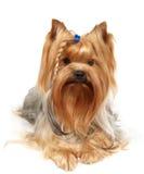 Terrier di Yorkshire con la treccia Immagini Stock