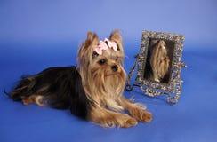 Terrier di Yorkshire con lo specchio Fotografia Stock Libera da Diritti