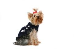 Terrier di Yorkshire fine Fotografie Stock Libere da Diritti