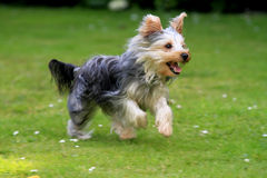 Terrier di Yorkshire funzionante Fotografia Stock
