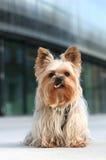 Terrier di Yorkshire nella città Immagine Stock