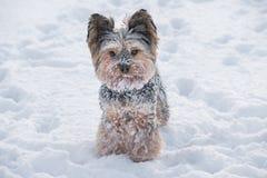 Terrier di Yorkshire nella neve fotografie stock libere da diritti