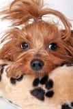 Terrier di Yorkshire sonnolento Fotografia Stock