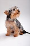 Terrier di Yorkshire in studio Fotografie Stock Libere da Diritti