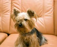 Terrier di Yorkshire sul sofà fotografie stock libere da diritti