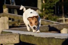 Terrier die in evenwicht brengende oefening doen bij hondpark Stock Afbeelding