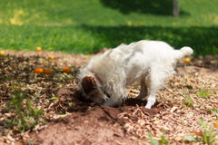 Terrier Digging Stock Images