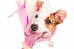 Terrier divertido lindo de russell del gato que desgasta un mantón imagenes de archivo