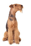 Terrier do Airedale Imagens de Stock Royalty Free