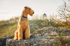 Terrier do Airedale Foto de Stock Royalty Free