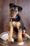 Terrier do Airedale Imagem de Stock Royalty Free