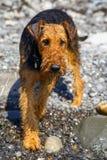 Terrier do airedale do puro-sangue fora Fotos de Stock