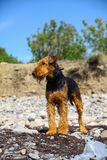 Terrier do airedale do puro-sangue fora Imagem de Stock