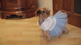 Terrier do cão no vestido engraçado filme