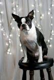 Terrier do feriado Imagens de Stock