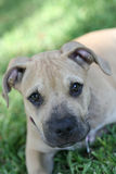 Terrier do pitbull na grama imagens de stock royalty free