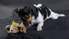 Terrier do russle de Jack imagens de stock