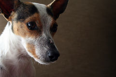 Terrier Dog 2 Stock Photography