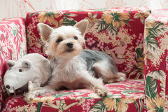 Terrier dog Royalty Free Stock Photos