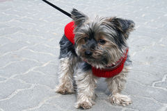Terrier dog. Small dog in red dress Royalty Free Stock Photography