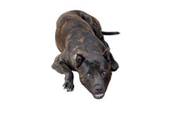 Terrier dog breed Royalty Free Stock Photo