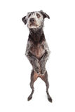 Terrier Dog Dancing on Hind Legs Royalty Free Stock Photo