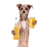 Terrier Dog Drinking Beer Royalty Free Stock Images