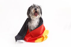 Terrier dog with German flag shout in front of white background Royalty Free Stock Images