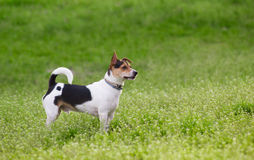 Terrier dog on green grass field Stock Photos