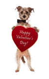 Terrier Dog Holding Valentines Day Heart. A cute male terrier mix breed dog wearing a black bow tie standing up and holding a big velvet heart shaped box of Royalty Free Stock Photo