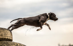 Terrier dog jumping in water Royalty Free Stock Photos