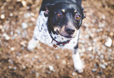 Terrier Dog Looking Up With Big Brown Eyes. Black, white, and brown terrier dog looking up with ears back and big brown eyes looking up Stock Photos