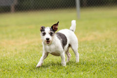 Terrier dog mix stock image