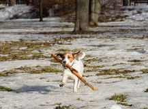 Terrier dog pet playing with stick at spring park Royalty Free Stock Images