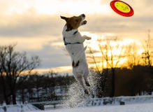 Terrier dog playing with flying disk at sunset Stock Images
