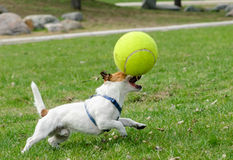 Terrier dog playing with large toy tennis ball. Funny Jack Russell Terrier with big ball Royalty Free Stock Images